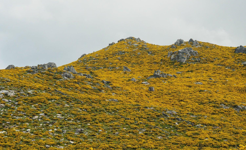 2 Galician Gorse.jpg