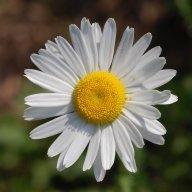 Daisy501