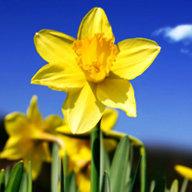 Optimistic Daffodil